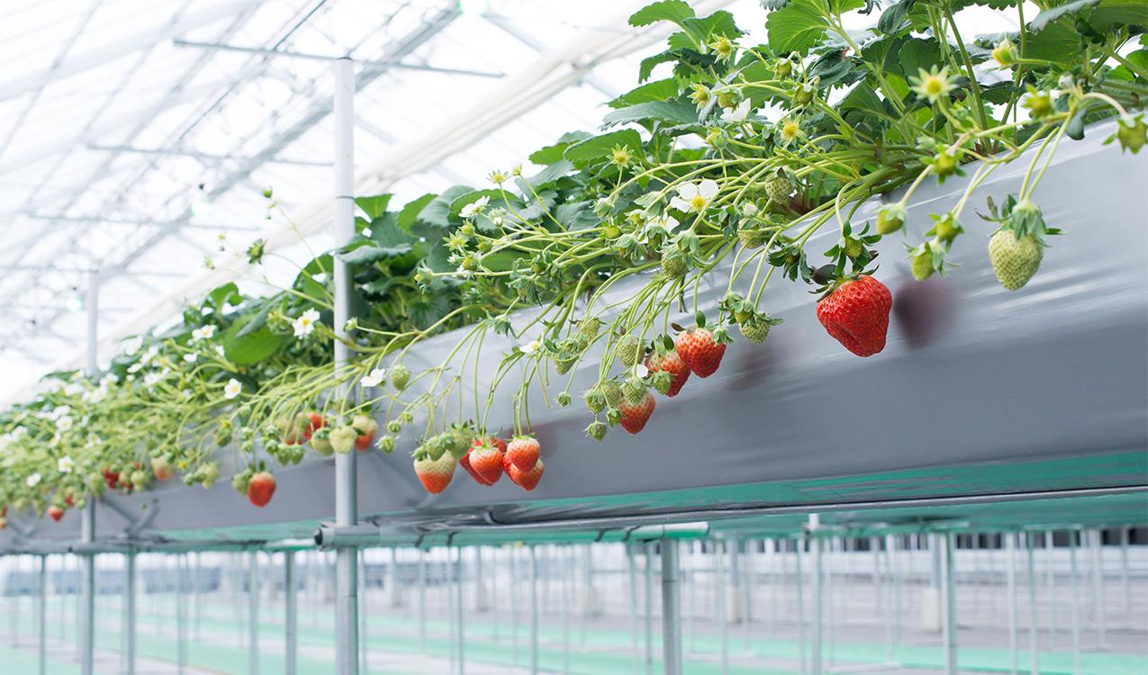 上 こう の イチゴ が っ 園 財田